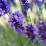 lavendelolie tegen muggen