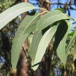 waar helpt eucalyptus tegen